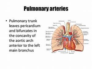 PPT - Lung Anatomy PowerPoint Presentation - ID:1921812