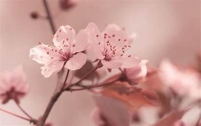 Sakura Background Flowers Cherry Spring Focus Desktop
