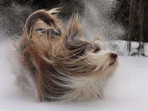 bearded collie breed guide learn   bearded collie