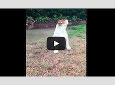 So süß, Englische Bulldoggen Welpe erlebt zum ersten Mal Regen