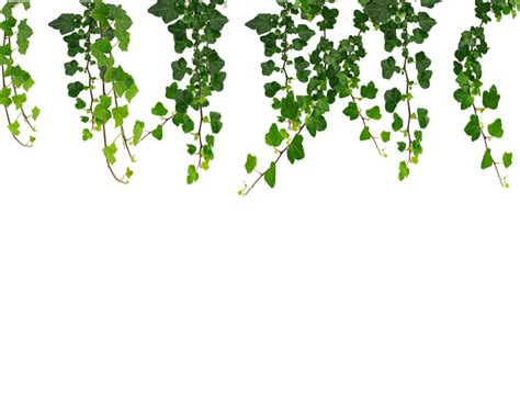 Hanging Vines Png By Moonglowlilly Deviantart Com On