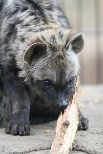 König Der Löwen Tapete : 17 besten hyena face tattoo bilder auf pinterest der k nig der l wen l win make up und tiere ~ Frokenaadalensverden.com Haus und Dekorationen