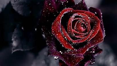 Rose Wallpapers Desktop Roses Pink Screensaver Laptop