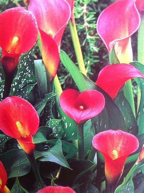 calla sun or shade 17 best images about calla lily on pinterest black flowers zantedeschia and bulbs