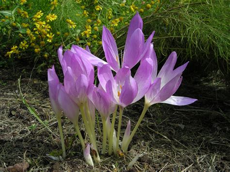plant flowering bulbs the holidays