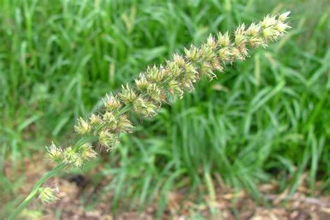 http://keyserver.lucidcentral.org/weeds/data/media/Html/cenchrus_echinatus.htm