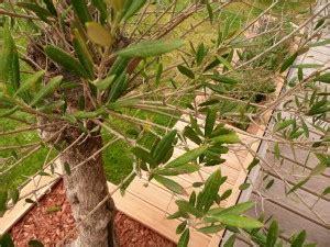 olivenbaum krankheiten er ist befallen wir helfen