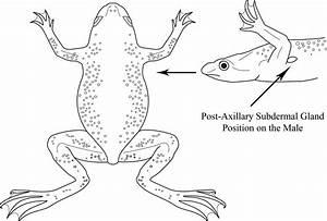 Aquatic Frog Diagrams By Sara Jennings At Coroflot Com