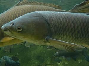 Karpfen Im Gartenteich : gr ndling gobio gobio 9 0 12 0 cm biotopfische ~ Lizthompson.info Haus und Dekorationen