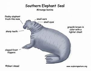 Southern Elephant Seal Drawing