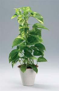 Plante Tropicale D Intérieur : epipremnum pinnatum pothos plante tropicale interieur grimpante vaporiser et garder ~ Melissatoandfro.com Idées de Décoration