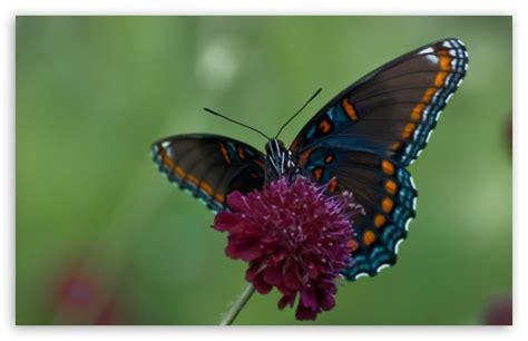 Swallowtail Butterfly 4k Hd Desktop Wallpaper For 4k Ultra