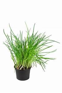 Kräuter Pflanzen Topf : schnittlauch im topf kultivieren so klappt 39 s ~ Lizthompson.info Haus und Dekorationen
