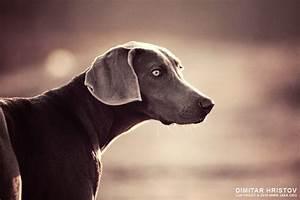 Purebred Young Weimaraner Dog Vintage Portrait