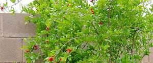 Pomegranate Punica Granatum  U0026 39 Garnet Sash U0026 39