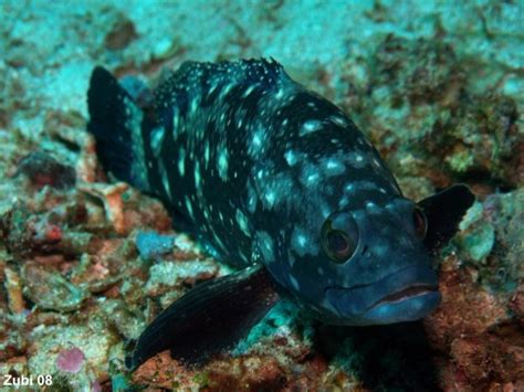 groupers epinephelus grouper yellow juvenile starfish ch