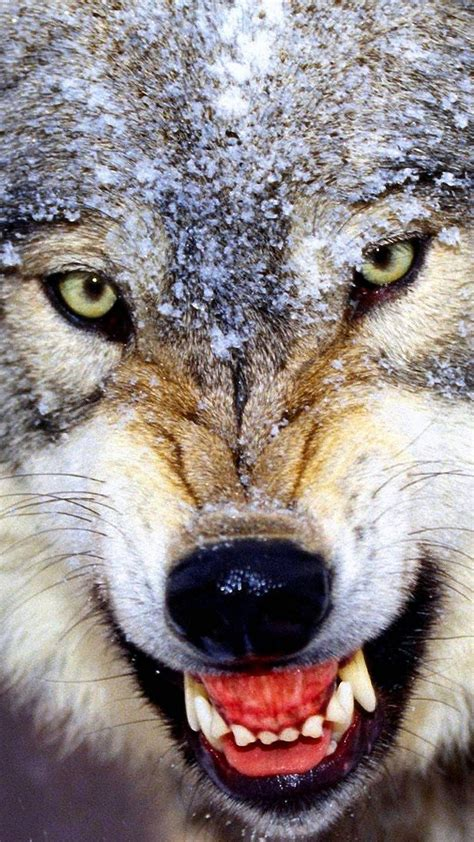 angry wolf pack wallpapers wolf wallpaperspro