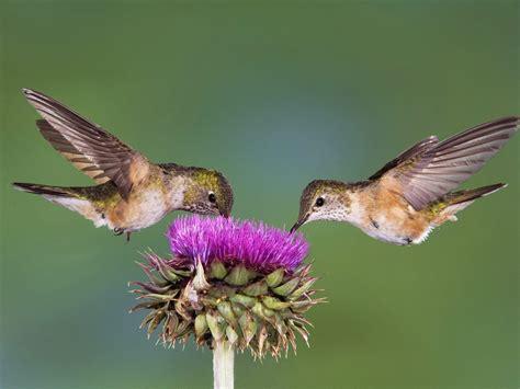 nature birds hummingbirds cactus flowers wallpaper
