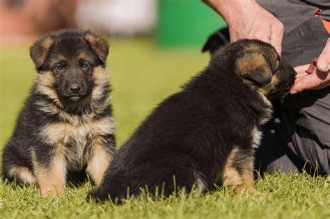 deutscher schaeferhund rassebeschreibung zooplus hundemagazin
