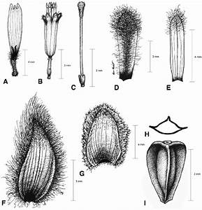 Illustrations Of Espeletiopsis Diazii   A Ray Corolla B
