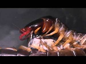 Pictures of Giant Centipede Eating Mouse - #catfactsblog