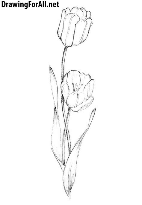 draw  tulip drawingforallnet