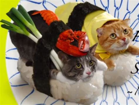 sushi cats japanese firm dresses cats like sushi in photo