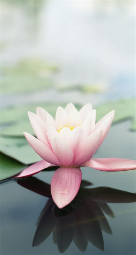 Download mp3 lotus flower slumosverca download radiohead lotus flower mp3 free how to download free mp3 mightylinksfo
