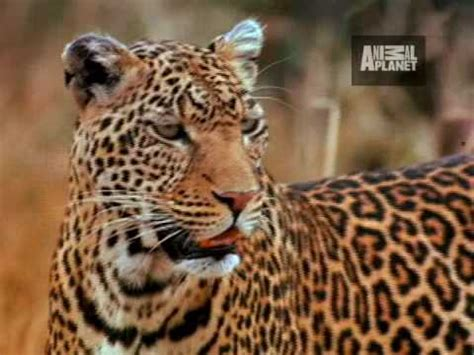 Animal Planet Leopard