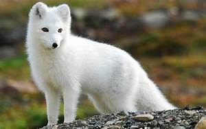 Wallpaper  Arctic Fox Wallpapers