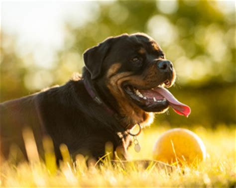 tough dog toys  love  rottweilers