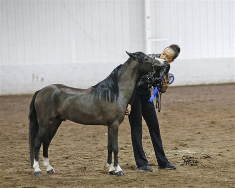 american shetland ponies  compete  national titles
