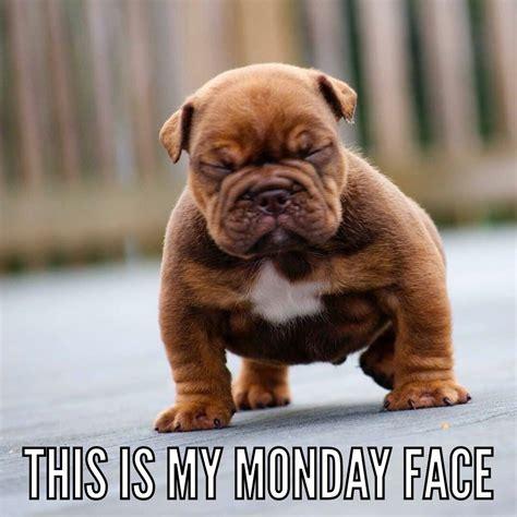 Monday face. English bulldog puppy. | puppied | Pinterest ...