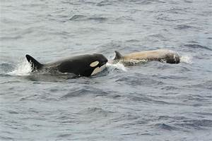Orcas filmed hunting and killing elusive whale species off ...