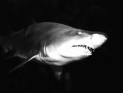 Shark Week Facts Amazing Barnorama Young Inherit