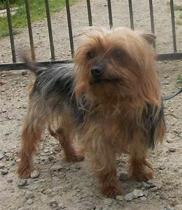Information About Yorkshire Terrier Adults Yousenseinfo