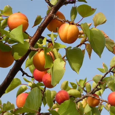 Chinese Apricot - Apricot Trees - Stark Bro's