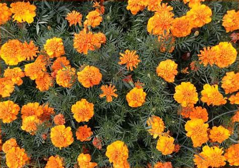 marigold insect repellent the best mosquito repelling plants according to studies bugofff com