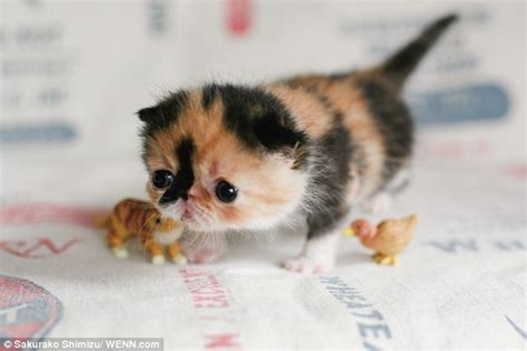 cutest cats in the world meet memebon the cutest kitten in the world the cat