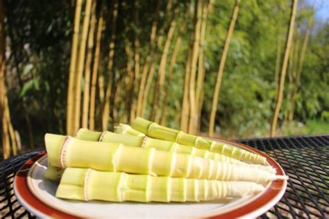 harvest cook  prepare bamboo shoots