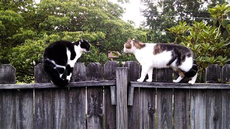 funny cats talking fighting cat face  mating call cat