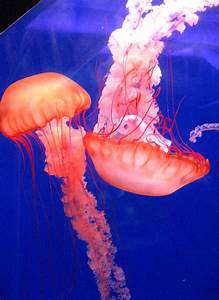 The Daily Apple: Apple #486: Jellyfish  Jellyfish