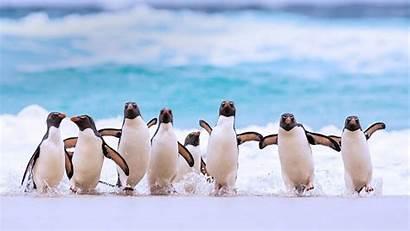 Islands Rockhopper Southern Penguins Falkland Penguin Bing