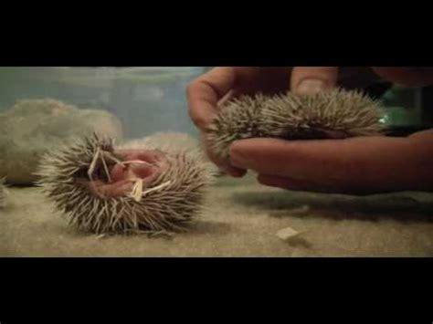 Heat L For Pygmy Hedgehog by 1 Week Pygmy Hedgehogs