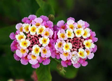 lantana plant flowers of bangladesh lantana