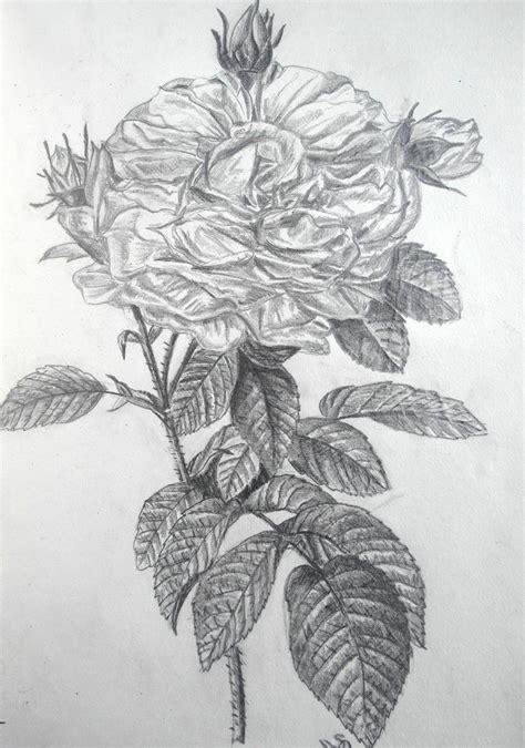 rose nach redoute zeichnung rose zeichnungen rose von