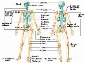 What part of the skeletal system includes the bones of the ...