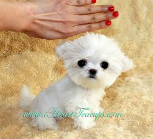 Micro Teacup Maltipoo Puppies for Sale