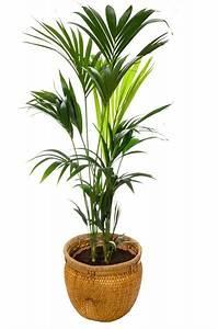 Grünpflanzen Für Dunkle Räume : zimmerpflanzen f r dunkle r ume kentia palme ~ Michelbontemps.com Haus und Dekorationen