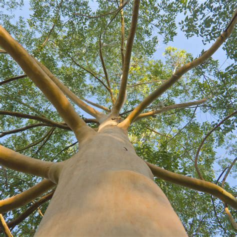 arbre à croissance rapide arbres 224 croissance rapide liste ooreka